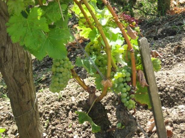 Grapes in Bordeaux